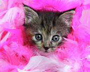 Staring Cat Photos - Kitten In Pink Feathers by Pat Gaines