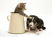 Border Prints - Kitten In Pot With Pup Print by Jane Burton