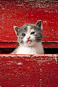 Old Face Prints - Kitten in red drawer Print by Garry Gay