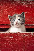 Kitten In Red Drawer Print by Garry Gay