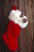 Furry Animals Posters - Kitten in stocking Poster by Garry Gay