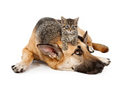 Domestic Dog Posters - Kitten laying on German Shepherd Poster by Susan  Schmitz