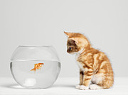 Fish Bowl Prints - Kitten Looking At Fish In Bowl, Side View, Studio Shot Print by Roger Wright