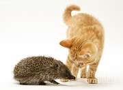 Felis Catus Prints - Kitten Meeting Hedgehog Print by Jane Burton