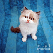 Animal Portraiture Framed Prints - Kitten On Blue Cloth Framed Print by Jane Burton