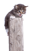 Courage Framed Prints - Kitten on Wooden Post Framed Print by Cindy Singleton