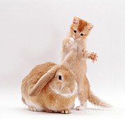 Lop Prints - Kitten Playing With Sandy Lop Rabbit Print by Jane Burton