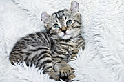 Susan Leggett Posters - Kitten Ready for Nap Poster by Susan Leggett