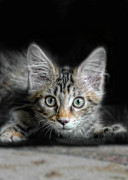 Wide-eyed Prints - Kitten Ready to Pounce Print by Jill Battaglia