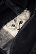 Kitten Pyrography Prints - Kitten sit in the backpack Print by Elena Eretina