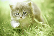 Domestic Animals Posters - Kitten Taking Steps In The Grass Poster by Charriau Pierre