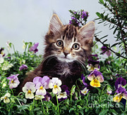 Animal Portraiture Framed Prints - Kitten With Pansies Framed Print by Jane Burton