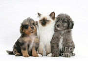 Breed Of Dog Posters - Kitten With Puppies Poster by Mark Taylor