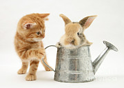 Pet Bunny Posters - Kitten With Young Rabbit In A Watering Poster by Jane Burton