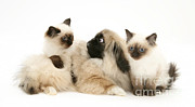 Pekingese Framed Prints - Kittens And Puppy Framed Print by Jane Burton