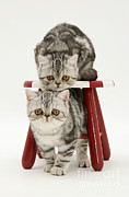 Tabby Art - Kittens And Stool by Jane Burton