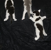 Arms Outstretched Photos - Kittens Climbing Up Black Felt by Jlph