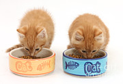 Mark Taylor - Kittens Eating