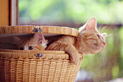 Sunlight Posters - Kittens In Basket Poster by Sarahwolfephotography