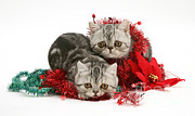 Tabby Art - Kittens With Tinsel by Jane Burton