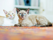 Domestic Cat Framed Prints - Kitties Sisters Framed Print by Cindy Loughridge