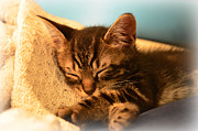 Kittens Prints - Kitty Nappin Print by Amanda Vouglas