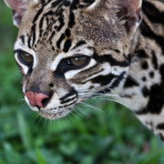 Tropical Wildlife Posters - Kitty Ocelot 1 Poster by Heiko Koehrer-Wagner