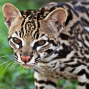 Tropical Wildlife Posters - Kitty Ocelot 2 Poster by Heiko Koehrer-Wagner