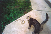 Kitty Cat Photo Prints - Kitty with Copperhead Print by Kip DeVore