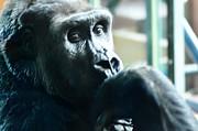 Kivu The Gorilla Print by Bill Cannon