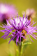 Purple Flower Posters - Knapweed flower Poster by Elena Elisseeva