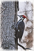 Pileated Woodpeckers Framed Prints - Knock Knock Framed Print by Lois Bryan