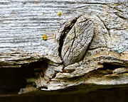 Lichen Photo Posters - Knot Rot Poster by David Waldo