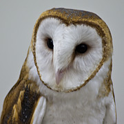 Snowy Night Art - Knowing Barn Owl by LeeAnn McLaneGoetz McLaneGoetzStudioLLCcom