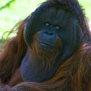 Orang-utan Photos - Knowing Smile by Heiko Koehrer-Wagner