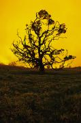 Koa Prints - Koa Tree Silhouette Print by Carl Shaneff - Printscapes