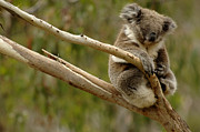 Koala Metal Prints - Koala At Work Metal Print by Bob Christopher