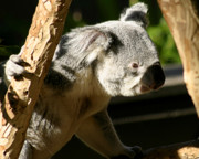 Koala Photo Acrylic Prints - Koala Bear 2 Acrylic Print by Anthony Jones
