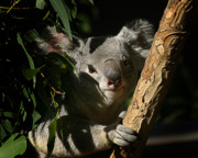 Koala Photo Acrylic Prints - Koala Bear 5 Acrylic Print by Anthony Jones