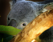 Koala Photos - Koala Bear  by Anthony Jones