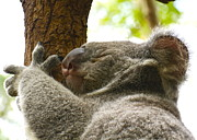 Koala Bear Art - Koala Bear asleep on a tree. by Michael Clarke JP