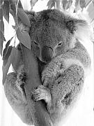Koala Metal Prints - Koala Bear Metal Print by Terry Burgess