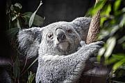Koala Metal Prints - Koala Bear Metal Print by Tom Mc Nemar