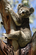 Koala Metal Prints - Koala Metal Print by Bob Christopher