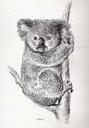 Koala Drawings - Koala by Colin Parker