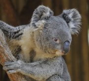 Koala Bear Art - Koala Holding Tree by Clarence Alford