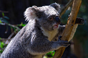 Perth Zoo Prints - Koala in a gum tree Print by Rob Hawkins
