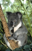 Koala Bear Art - Koala in Eucalyptus tree by Peter Phipp