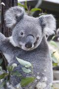 Koala Bear Art - Koala In Tree by Paul Hobson