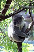 Koala Photo Prints - Koala Print by Jessica Rose